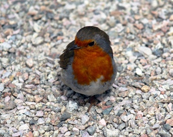 Wandering Robin