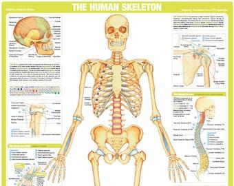 photograph relating to Printable Human Skeleton to Assemble titled Human skeleton Etsy