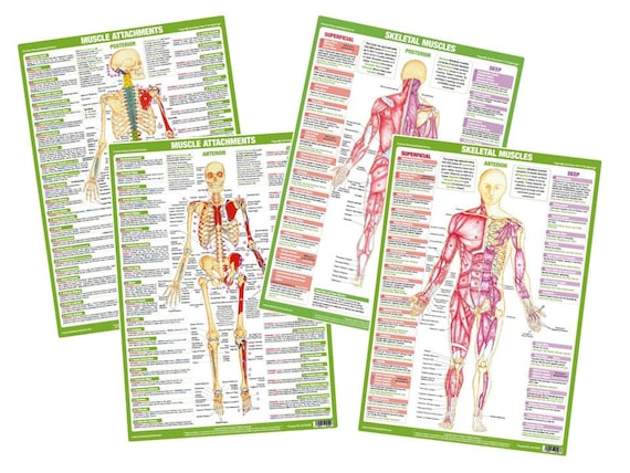 Muscle Anatomy Charts Bodybuilding Keep Fit Gym Posters Home Training Posters