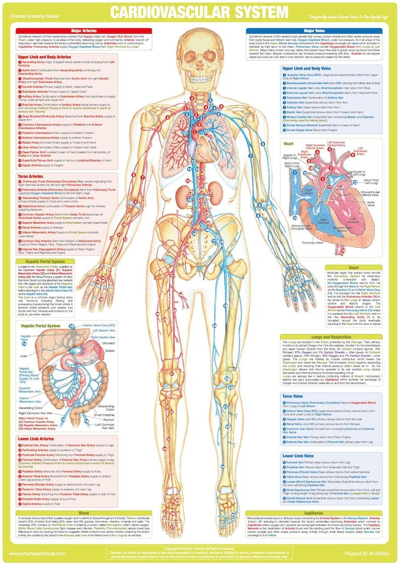 Human Anatomy Cardiovascular System Chart Circulatory System Etsy