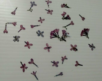 """Arabis """"RockCress"""" Dried Flowers 20+ REAL Flowers/Clusters In Purple/Blue OR White/Cream Botanicals Junk Journal Card Making Potpourri Craft"""