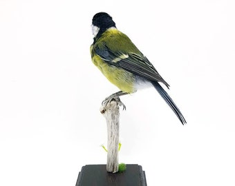 Taxidermy great tit, real taxidermy bird