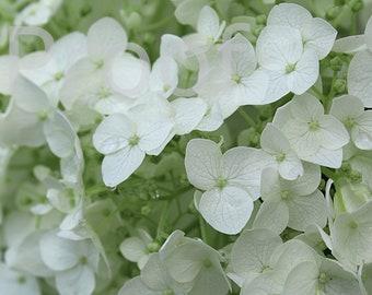 White Hydrangea Print, Hydrangea Print, Hydrangea Photo