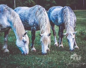 Three Stallions; Horse Photography; Portrait
