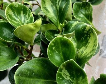 Peperomia Obtusifolia Green Lemon Lime Variegated