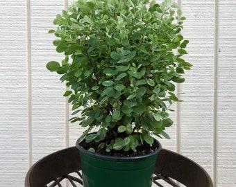 Breynia Distichia Breynia Nivosa Snowbush Hawaiian Leaf Flower Calico Plant Sweet Pea Bush