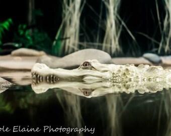 Albino Alligator Canvas