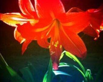 Uplifting Amaryllis