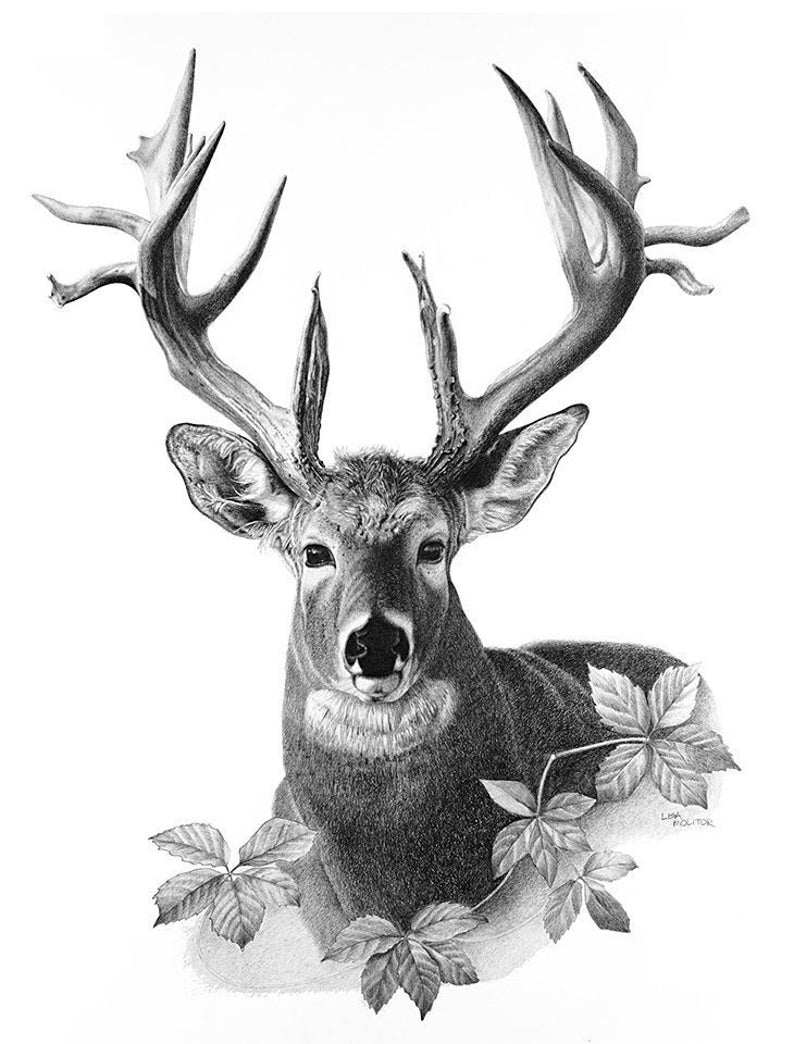 It is an image of Clever White Tailed Deer Drawing