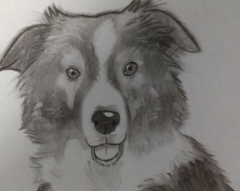 Border collie dog charcoal pet portrait