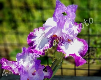 White & Purple Iris Photo