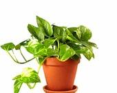 50 pcs Epipremnum Aureum seeds Money Plant Golden Pothos Epipremnum (Devil 39 s Ivy)