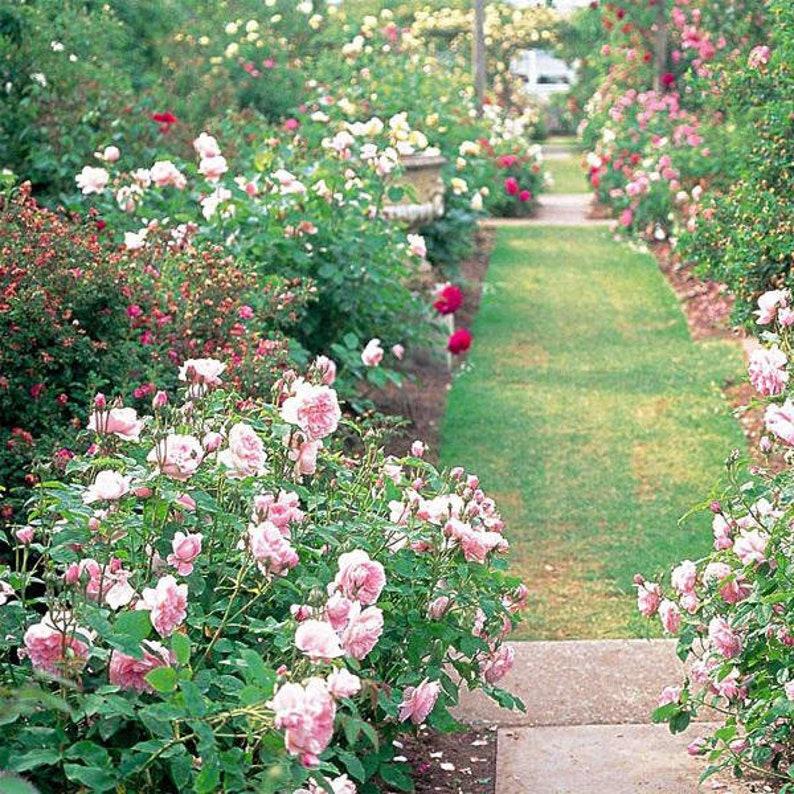 50 Stück Garten Klettern Rose Samen Balkon Drcoration Mix Etsy
