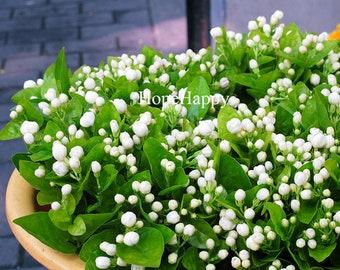 Bonsai white jasmine flower seeds, fragrant plant arabian jasmine seeds - 50 particles