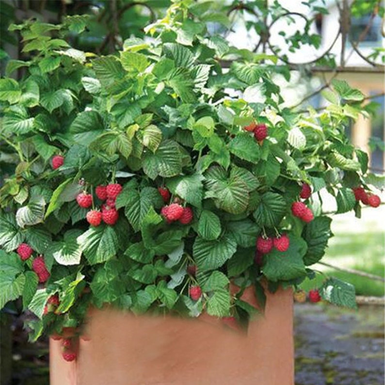 100 PcsPack Mixed Color Raspberry Seeds Each 1000 Pcs for Black Red Fruit Seed