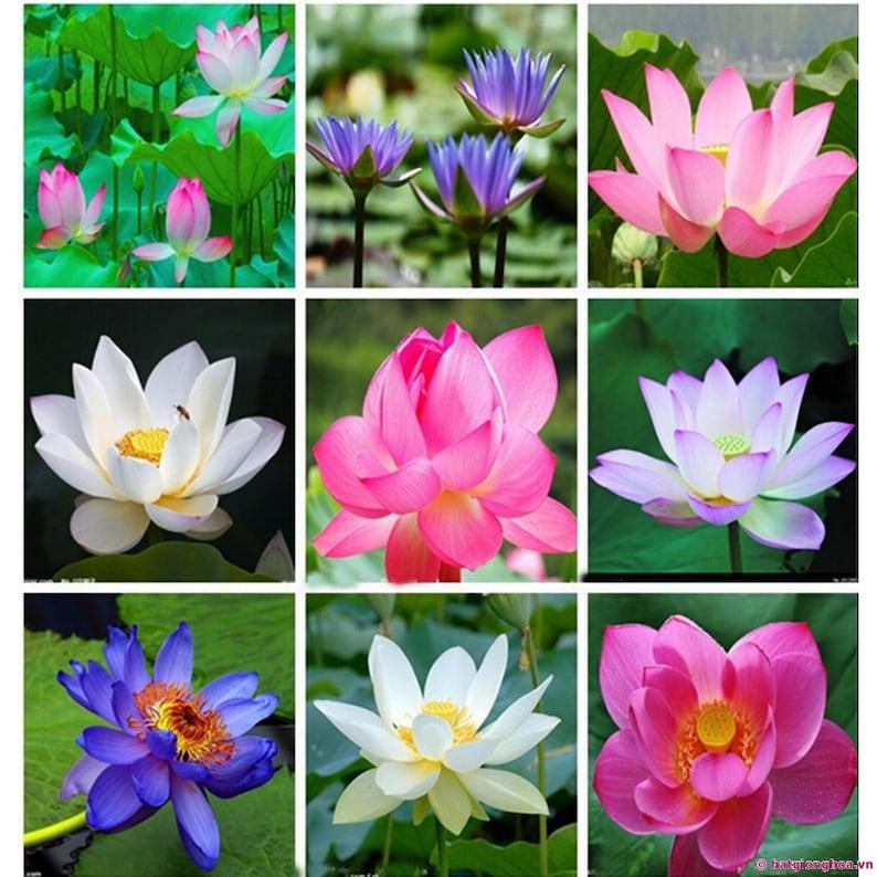 10pcsbag Lotus Flower Lotus Seeds Aquatic Plants Bowl Lotus Etsy