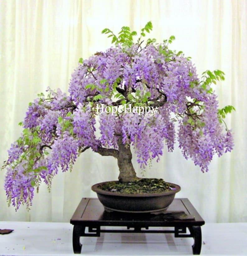 8 particles lilac mini bonsai wisteria tree seeds Indoor ornamental plants