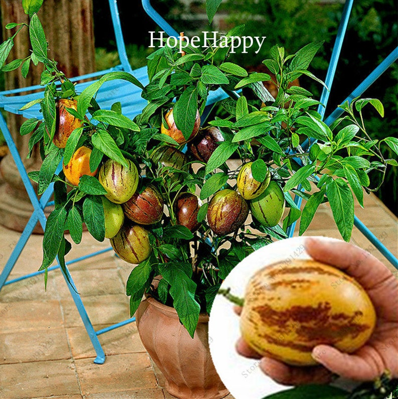 Bonsai Garden Pots & Planters Latest Collection Of 10pcs Cherry Bonsais Fruit Cherry Mini Bonsai Draft Tree No-gmo Big And Sweet Easy Grow Fast Growing
