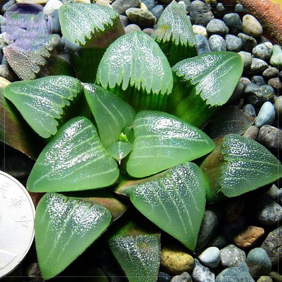 Haworthia lockwoodii Yellow Wide-leaf Bonsai Succulent Heirloom Garden Nice Seed