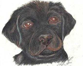 Black Lab Puppy in Colored Pencil Print
