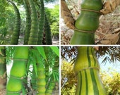 80 seeds, Rare Buddha 39 s Belly bamboo, Bambusa ventricosa