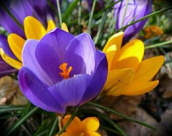Crocus - flower - flower photography - flower print