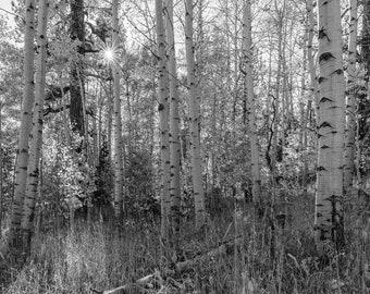 Wild Sierra Aspens