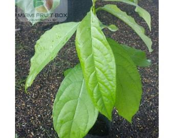 2 Feet Florida Baby Avocado Fruit Tree Organic Love USA Seller Miami Free Shipping