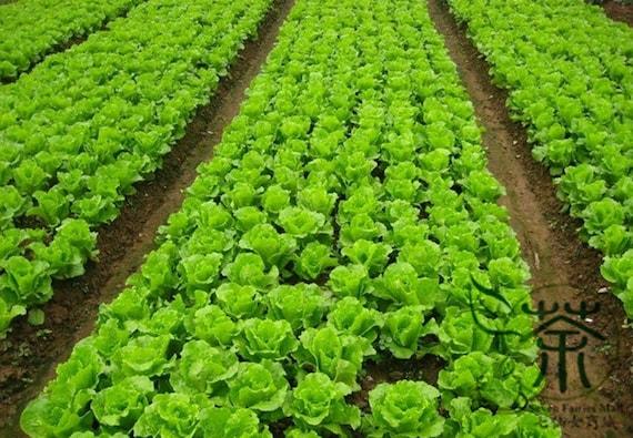 Graines de légumes feuilles laitue, Latuca Sativa Seed, saisons laitue Boli Shengcai. Qty.500pcs/Bag +
