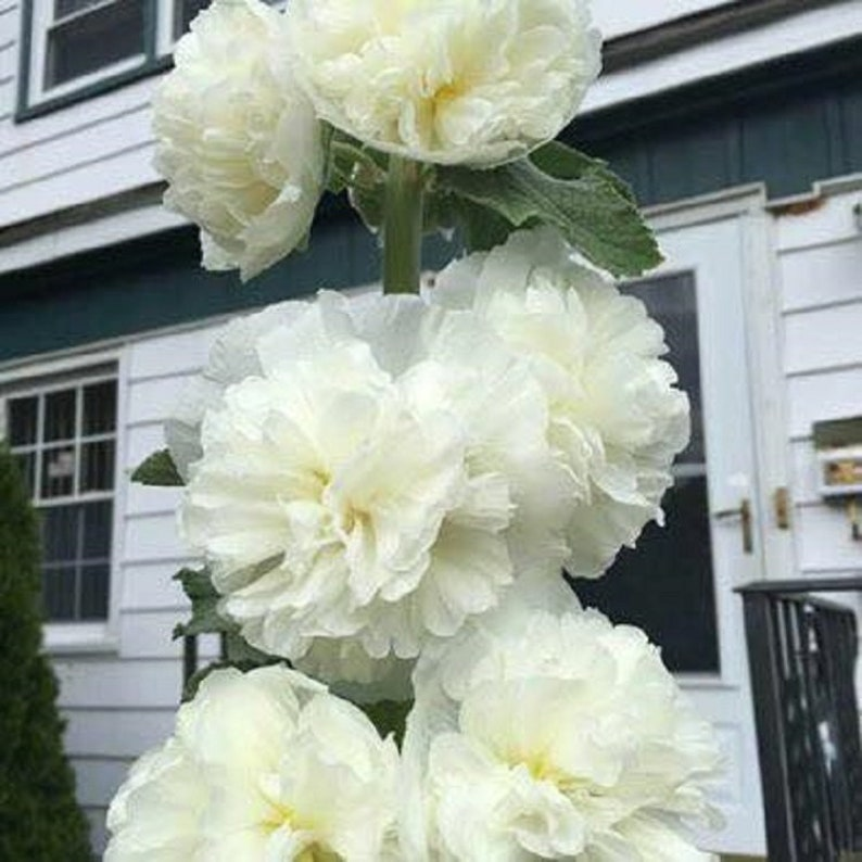 White Hollyhock Perennial Double Flowered Peony Shaped 30 image 1
