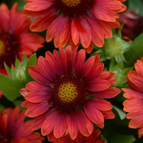 Mesa Red Blanket Flower Plant For Sun Cold Hardy Perennial Etsy