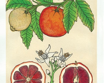 Blood Orange   Watercolor Botanical Print   5x7   8x10