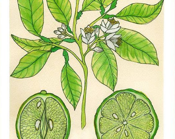 Key Lime | Watercolor Botanical Print | 8x10 | 5x7