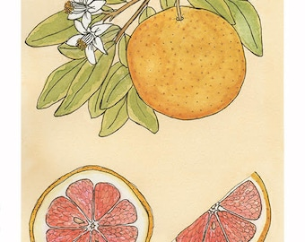 Ruby Red Grapefruit | Watercolor Botanical Print | 8x10 | 5x7