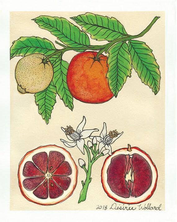 Blood Orange | Watercolor Botanical Print | 5x7 | 8x10