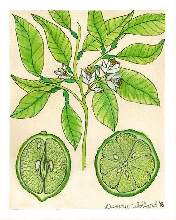 Key Lime | Watercolor Botanical Print | 8x10 | 5x7