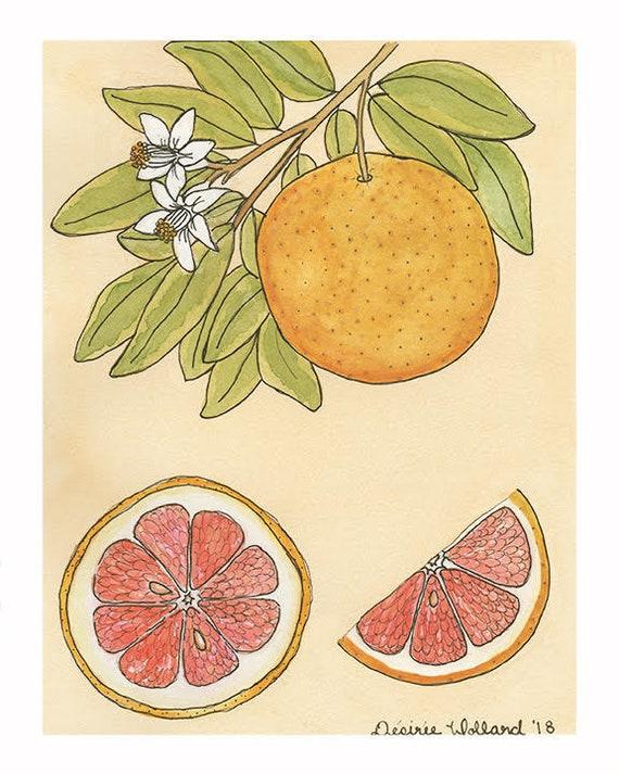 Ruby Red Grapefruit | Watercolor Botanical Print | 8x10 | 5x7