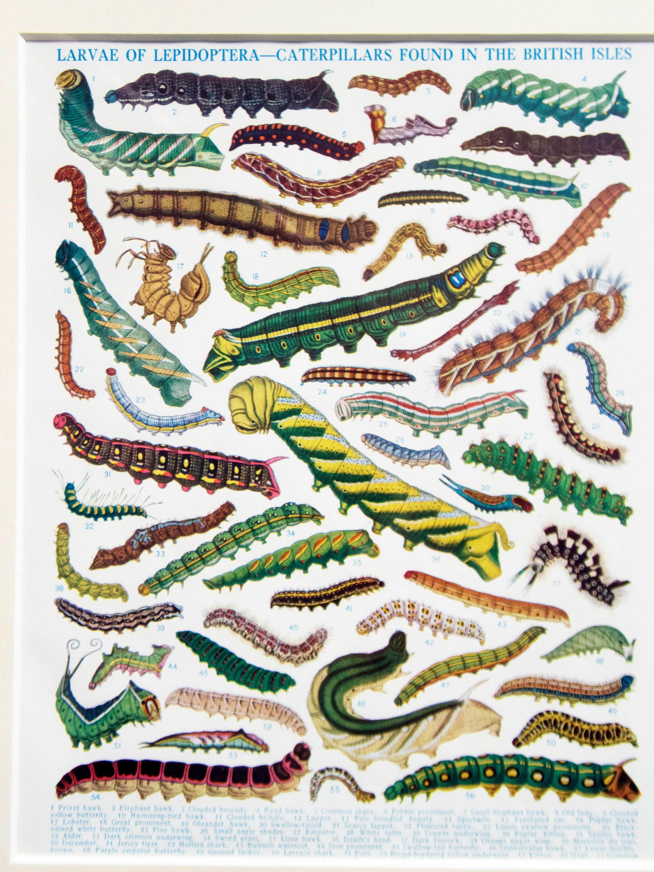 Natural History Illustration 'Larvae of Lepidoptera', 1928