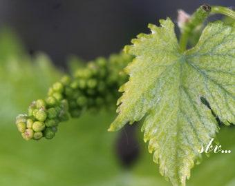 """Photographie """"Feuille de vigne au printemps"""""""