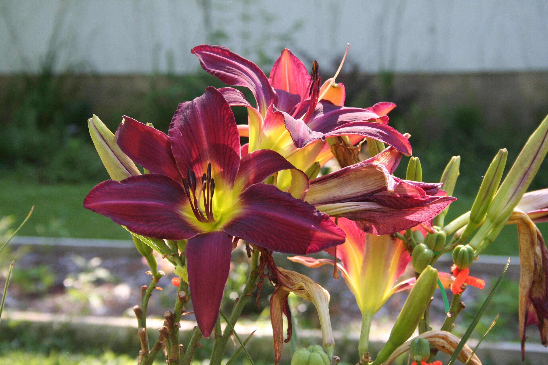 Frankies Fantasy Daylily Hemerocallis Live Plant Garden Design Etsy