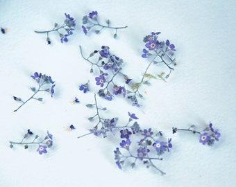 Set of 5 pcs purple forgetmenots. Dried forget-me-not. Pink. Violet flowers.
