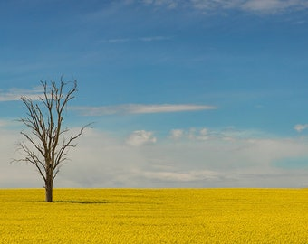 Dead Amoungst the Canola
