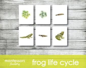 Back to school frog Montessori Life cycle Biology Montessori education The frog life cycle