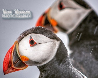 A pair of puffins in the rain on the island of Mykines, Faroe Islands