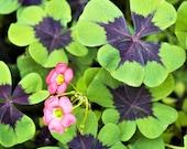 15 Oxalis Iron Cross (Good Luck Plant) FREE Shipping