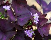 20 Oxalis Triangularis Bulbs (Purple Shamrock)