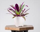 Rhoeo tricolor in a White Ceramic Pot