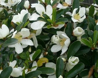 Tree L32 Sweetshrub 5 seeds Calycanthus floridus   Fragrant Ornamental