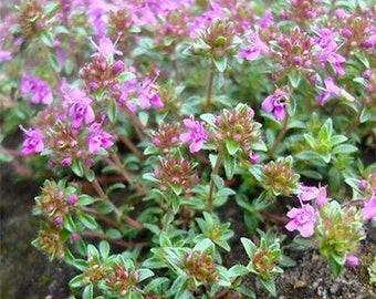 Thym Rampant Couvre Sol 1000 Graines Herbe Parfum 233 E Fleurs