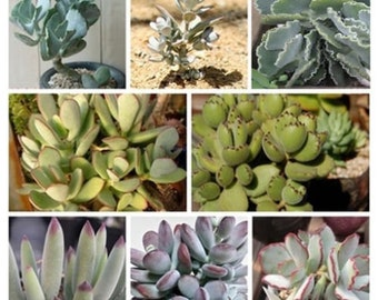 Succulent seeds Wide mixture Cotyledon mixed species Houseplant or outdoor